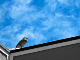 Gull on a Roof